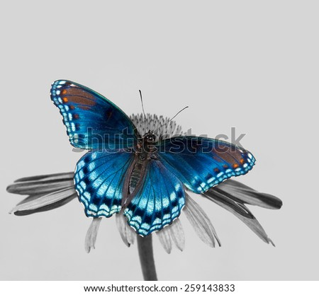 Red-spotted Purple Admiral on Echinacea flower, color spot on black and white - stock photo