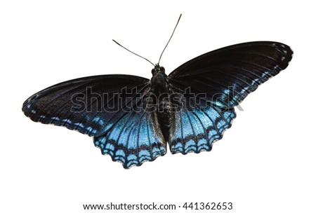 Red-spotted Purple (Limenitis arthemis) on a white background with a clipping path - stock photo