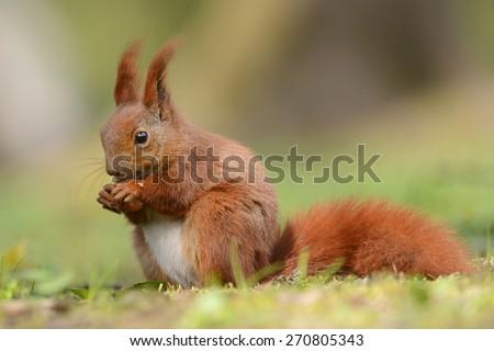 Red squirell close up (Sciurus vulgaris) - stock photo
