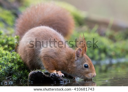 Red squirrel drinking on moss. - stock photo