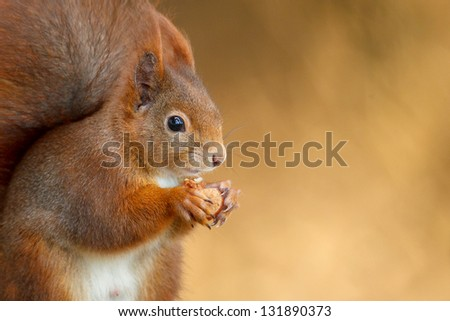 Red squirrel eating a hazel nut with soft background and space to the right - stock photo