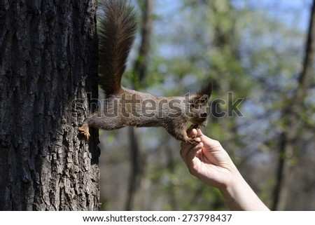 Red squirrel eating food from human hand in a park.  - stock photo
