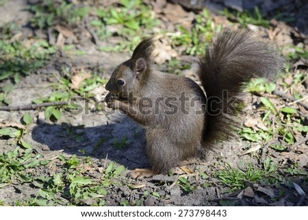 Red squirrel eating nuts on the ground - stock photo