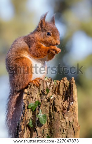 Red Squirrel feeding on tree stump - stock photo