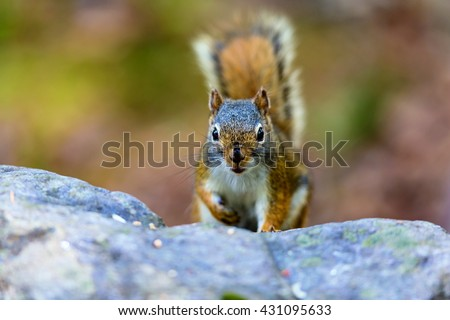 Red Squirrel in a Boreal forest in northern Quebec.The red squirrel or Eurasian red squirrel is a species of tree squirrel. The red squirrel is an arboreal, omnivorous rodent.  - stock photo