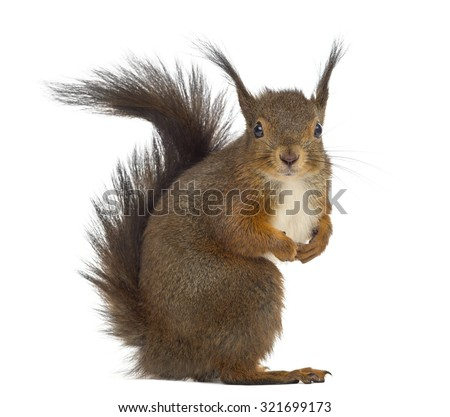 Red squirrel in front of a white background - stock photo
