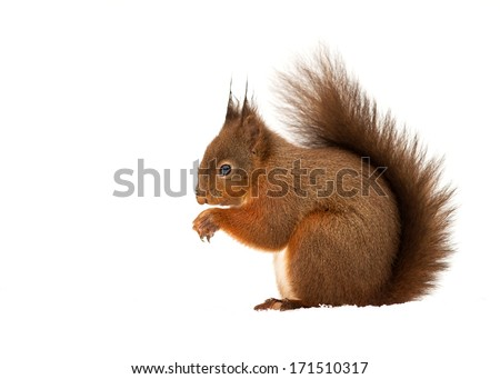 Red Squirrel in snow - stock photo
