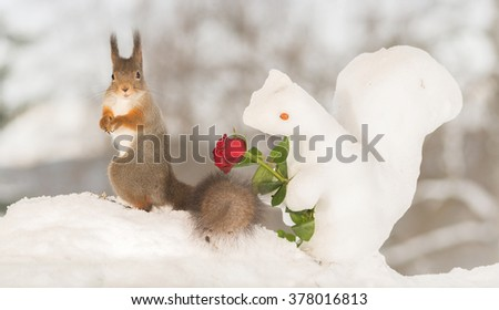 red squirrel in snow with ice squirrel and rose  - stock photo