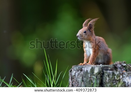 Red squirrel in the forest in the wild  - stock photo