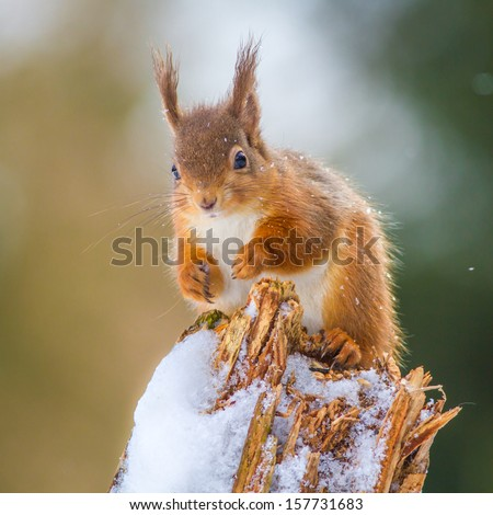 Red Squirrel in Winter, Northumberland, England - stock photo