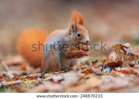 Red squirrel is eating - stock photo