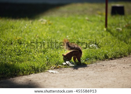 Red squirrel is playing in the grass - stock photo