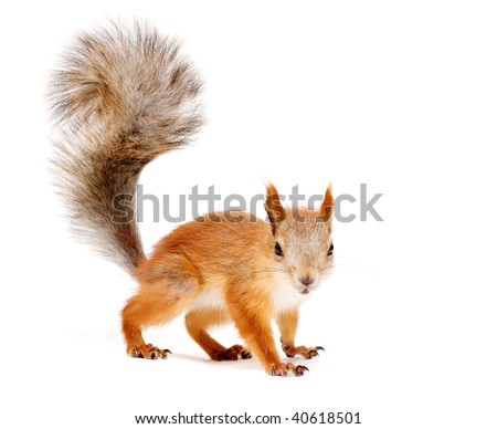 red squirrel isolated on white - stock photo