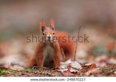 Red squirrel looking at you - stock photo