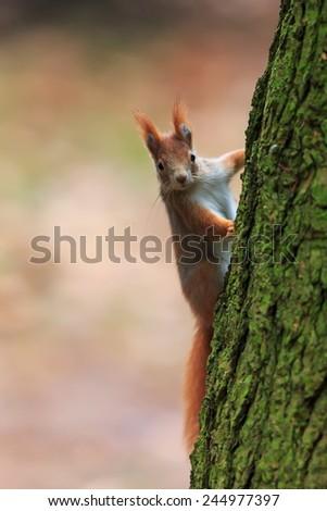 Red squirrel on the bark tree - stock photo