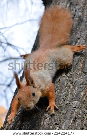 Red squirrel on tree in autumn, Ukraine/Red squirrel on tree/Red squirrel on tree in autumn - stock photo