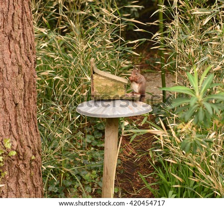 Red Squirrel (Sciurus vulgaris) Eating Nuts on the Island of Tresco in the Isles of Scilly, England, UK - stock photo