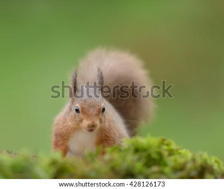 Red Squirrel (Sciurus vulgaris) - in Moss - stock photo