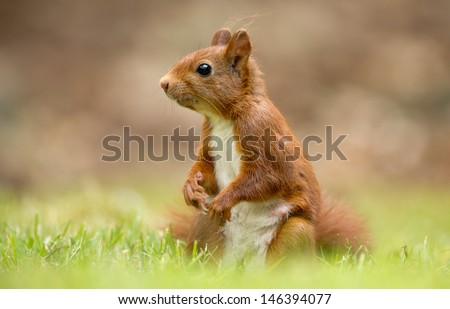 Red Squirrel sits on grass - stock photo