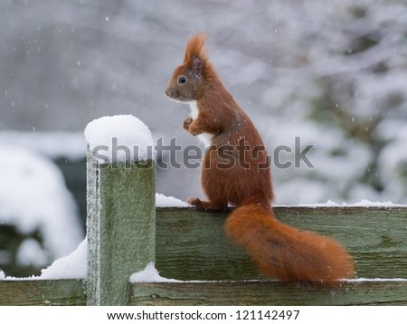Red squirrel sitting on green fence while it's snowing, posing like a left foot boxer - stock photo