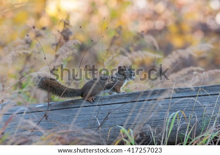 Red squirrel standing on fallen log in Yellowstone National Park, Wyoming. - stock photo