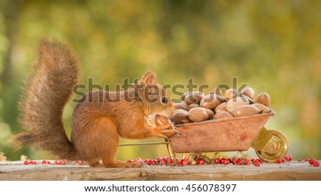 red squirrel standing with a wheelbarrow and nut in mouth - stock photo