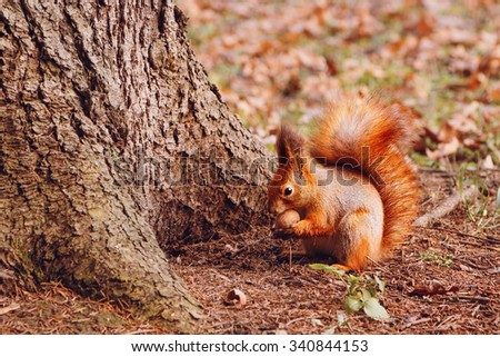 Red squirrel with walnut in the autumn forest - stock photo
