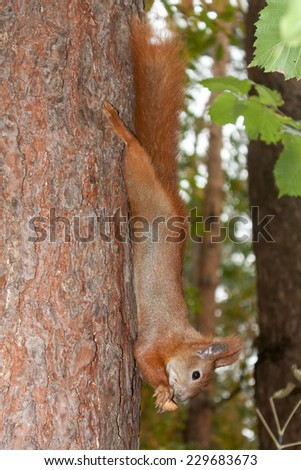 Red squirrel with walnuts - stock photo