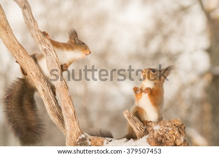 red squirrels on tree trunk with snow  - stock photo