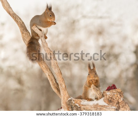 red squirrels on tree trunk with snow and rose - stock photo