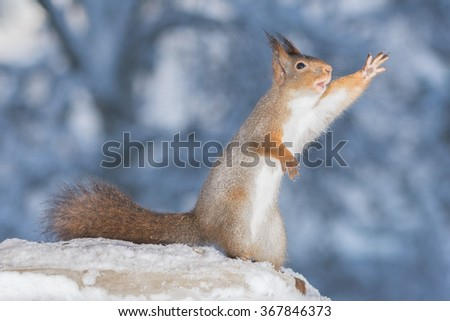 red squirrels waving and standing in snow  - stock photo