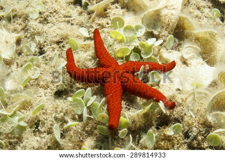 Red Starfish - stock photo