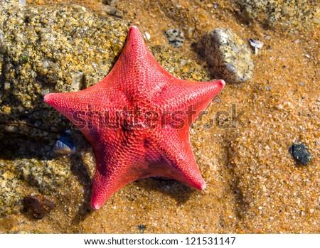 Red Starfish ashore at Monterey Bay, California - stock photo