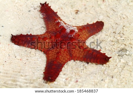 Red starfish in a shallow water - stock photo
