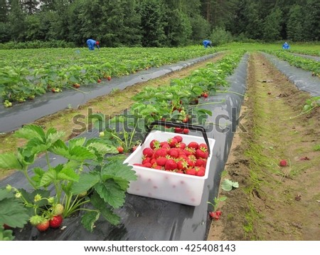 Red strawberries in a white basket stands on film on the strawberry the garden strawberry field in Finland - stock photo
