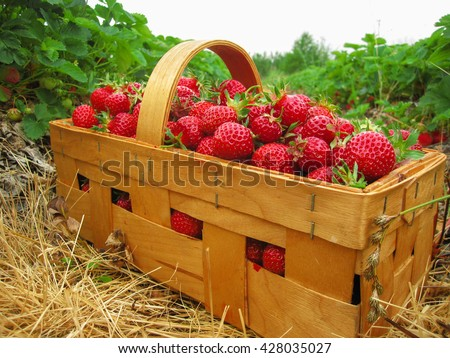Red strawberries in a wooden basket costs between the strawberry beds in the field - stock photo