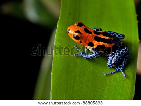red striped poison dart frog blue legs of amazon rain forest in Peru, poisonous animal of tropical rainforest, pet in terrarium - stock photo