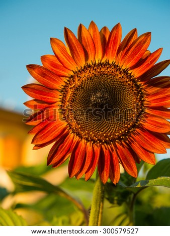 Red sunflower - stock photo