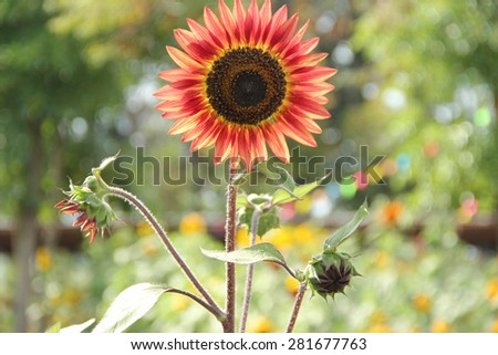 Red sunflower and blur rainbow background - stock photo