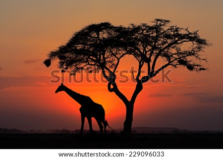 Red sunset with silhouetted African Acacia tree and a giraffe, Kenya - stock photo
