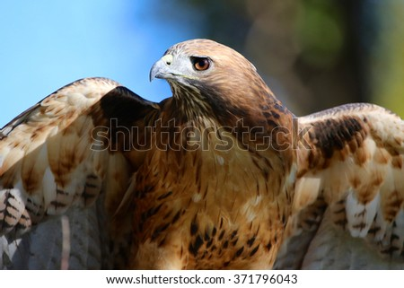 Red Tail Hawk - stock photo