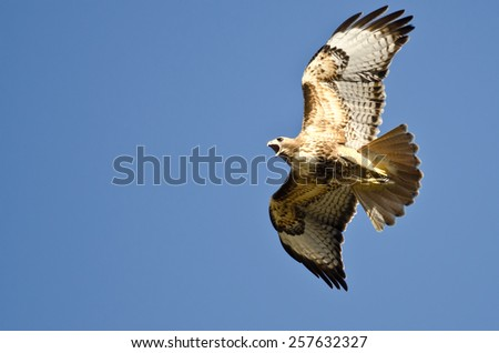 Red-Tail Hawk Flying in a Blue Sky - stock photo