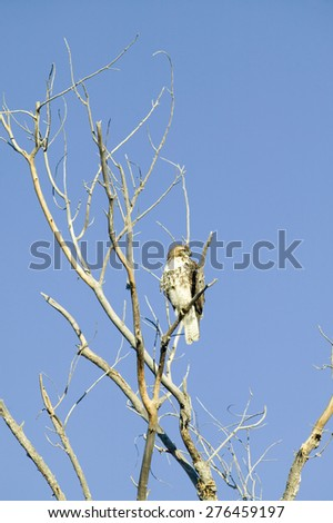 Red tail hawk sits in tree at sunrise at the Bosque del Apache National Wildlife Refuge, near San Antonio and Socorro, New Mexico  - stock photo