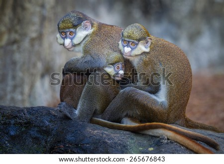 Red tailed Guenon monkey family in group hug - stock photo