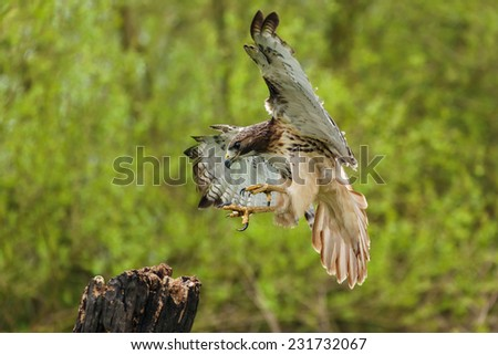 Red-tailed hawk about to land. A beautiful red-tailed hawk is seen as it prepares to land on a tree stump. - stock photo