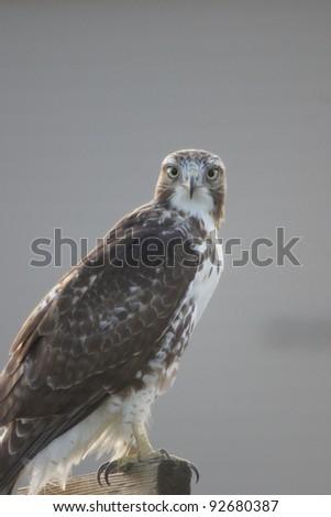 Red-Tailed Hawk - Bird of Prey - stock photo