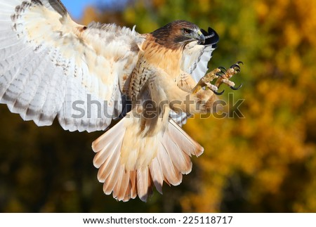 Red-tailed hawk (Buteo jamaicensis) in flight - stock photo