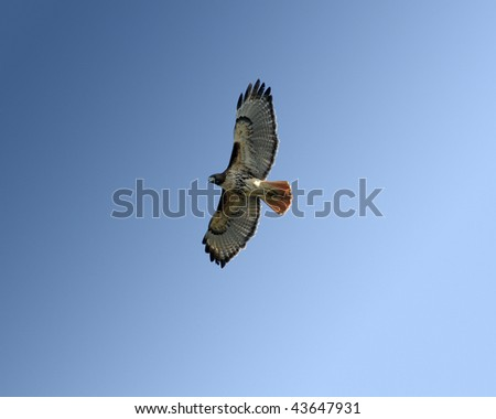 Red-tailed hawk (buteo jamaicensis) in flight in Gainesville, FL on January 1, 2010. - stock photo