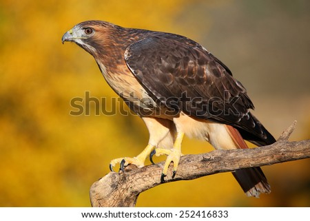 Red-tailed hawk (Buteo jamaicensis) sitting on a stick - stock photo