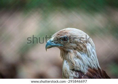 Red Tailed Hawk Close Up - stock photo